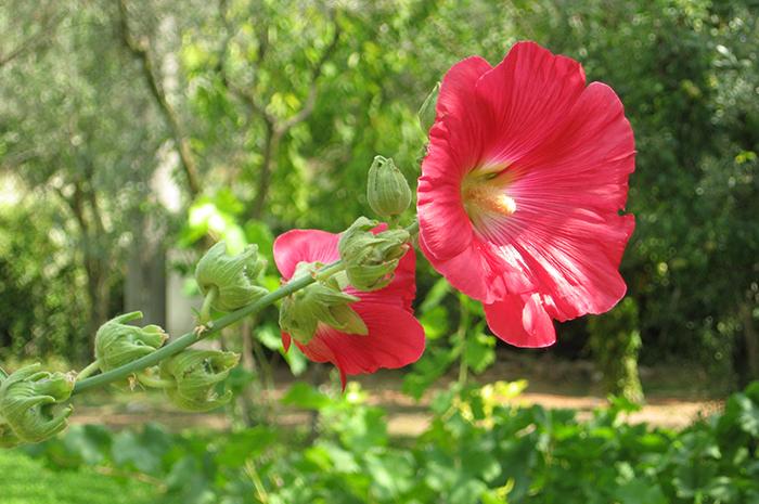 hatmi çiçeği nedir