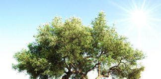 zeytin ağacı